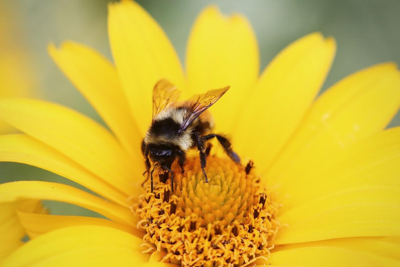 krystalizacja i proces powstawania miodu - pszczoła na kwiatku
